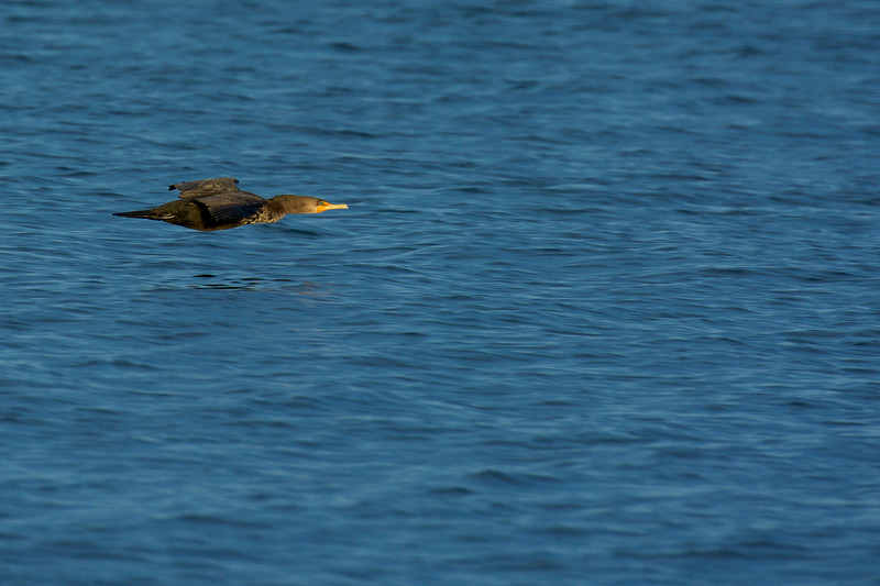 Double-crested Cormorant ~ Phalacrocorax auritus ~ Southern Outer Banks