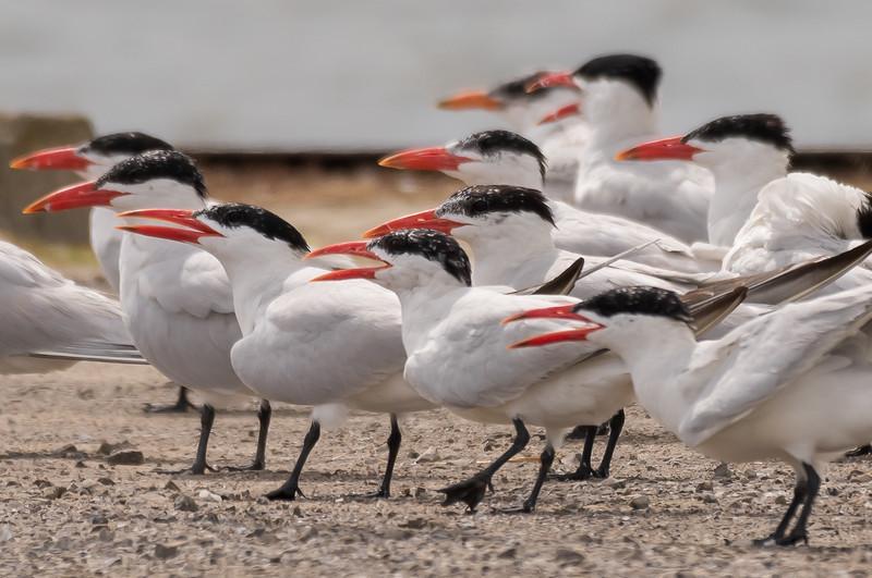 Caspian Terns ~ Hydroprogne caspia ~ Pointe Mouilee, Michigan