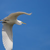 Great Egret, in flight ~ Ardea alba ~ Southern Outer Banks