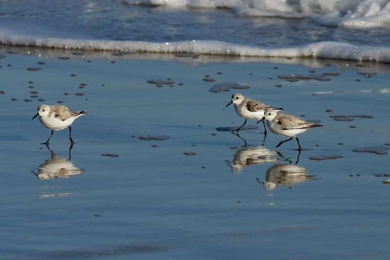 Sanderlings ~ Calidris alba ~ Southern Outer Banks