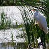 Great Egret ~ Ardea alba ~ Great Lakes and Watershed ~ 1st road trip for birding festival with instructor and class ~ September 2015