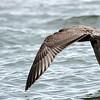 American Herring Gull ~ Larus argentatus ~ Lake Michigan