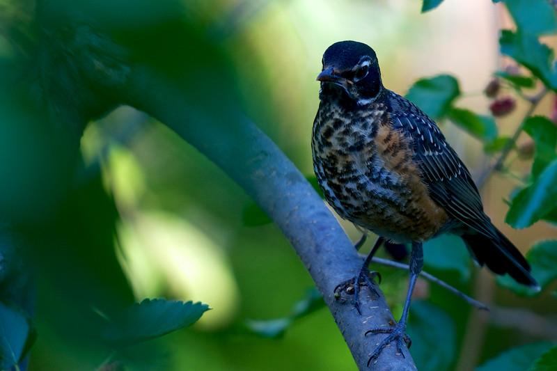 American Robin, Juvenile ~ Turdus migratorius ~ Huron River Watershed
