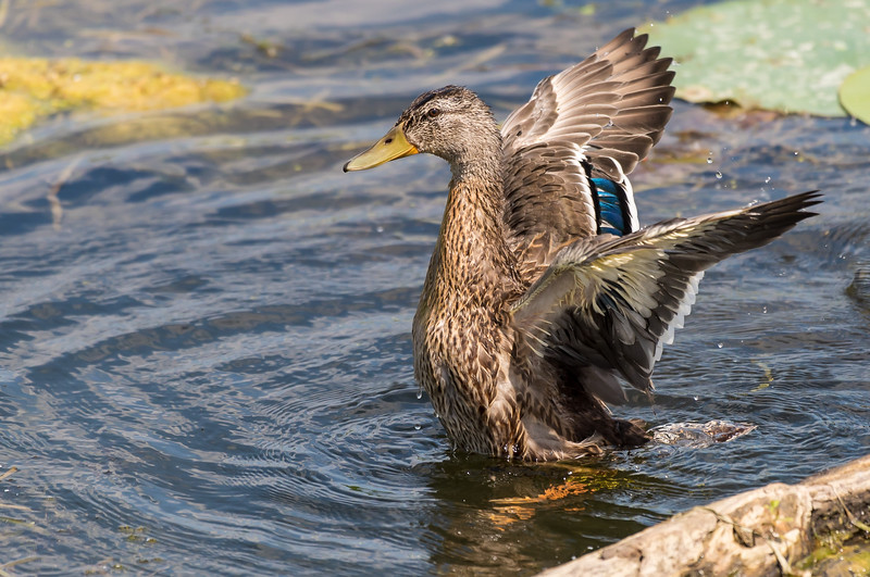 Mallard, Male ~ Anas platyrhynchos ~ Pointe Mouilee, Lake Erie