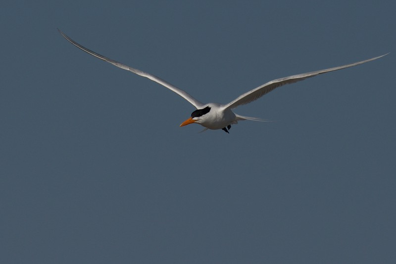 Royal Tern ~ Thalasseus maximus ~ Southern Outer Banks