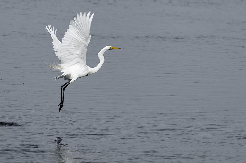 Assemblé ~ Great Egret ~ Ardea alba ~ Southern Outer Banks
