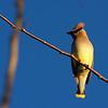 Cedar Waxwing ~ Bombycilla cedrorum ~ Southern Outer Banks