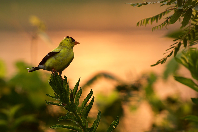American Goldfinch ~ Spinus tristis ~ Huron River, Michigan