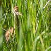 Peek-a-Boo ~ Sandhill Crane Colt ~ Antigone canadensis ~ Huron River Watershed, Michigan