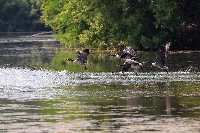 Canada Geese ~ Branta canadensis ~ Huron River