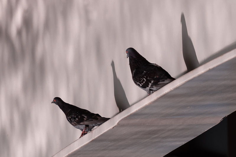 Feral Rock Pigeons in the Morning Sun ~ Columba livia ~ Huron River