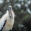 Close-Up of a Woodstork ~ Mycteria americana ~ New Smyrna Beach, Florida