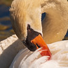 Mute Swan ~ Cygnus olor ~ Huron River