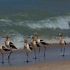 American Avocets, breeding plumage~ Recurvirostra americana ~ Lake Michigan