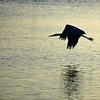Great Blue Heron ~ Ardea herodias ~ Southern Outer Banks