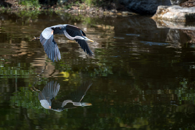 Great Blue Heron ~ Ardea herodias ~ Fairchild Tropical Botanic Garden, Coral Gables, Florida