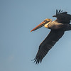 Brown Pelican ~ Pelecanus occidentalis ~ New Smyrna Beach, Florida