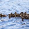 Mallard mom and her family of ducklings ~ Anas platyrhynchos ~ Huron River, Michigan