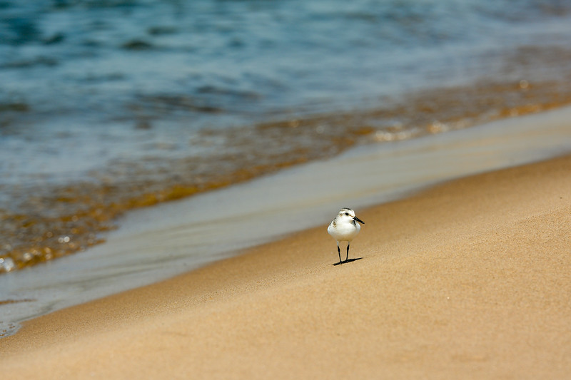Sanderling ~ Calidris alba ~ Great Lakes and Watersheds