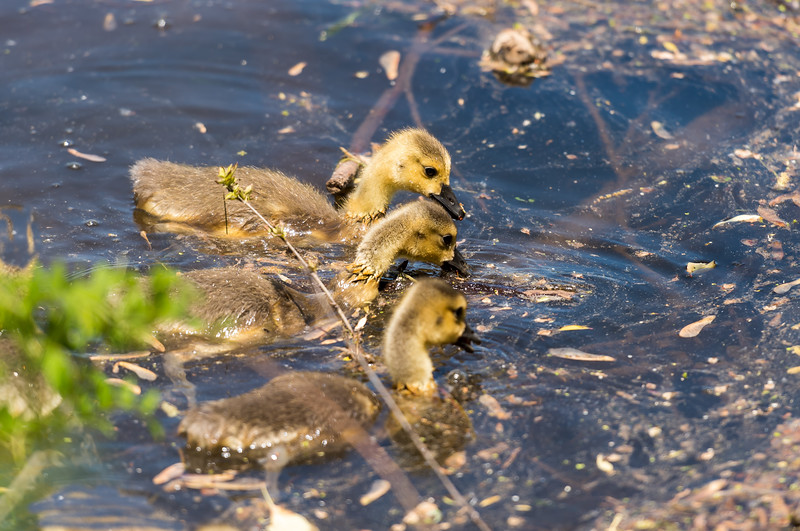 Three Little Goslings ~ Branta canadensis ~ Huron River, Michigan