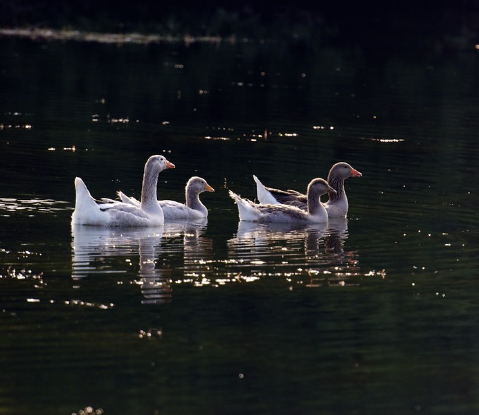 four greylag geese a-swimming ~ Anser anser ~ Huron River, Michigan