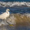 Snowy Egret ~ Egretta thula ~ New Smyrna Beach, Florida