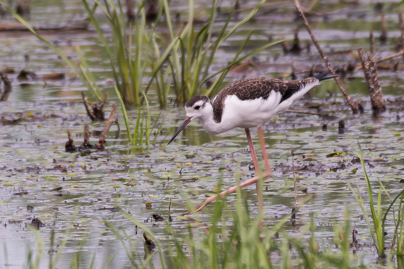 Black-necked Stilt, Juvenile ~ Himantopus mexicanus ~ Metzger Marsh Wildlife Area, Ohio
