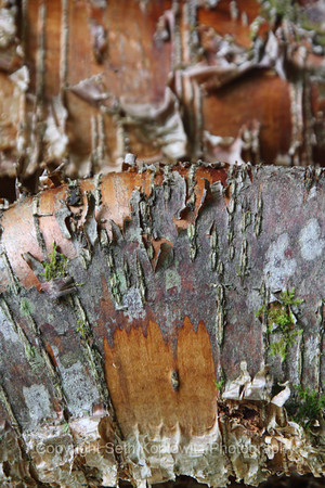 Copper Birch Abstract – Algonquin (2010)