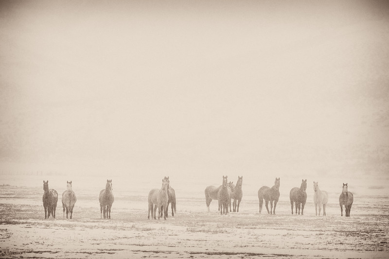 """Horses in Snow Storm"" Gunnison, Colorado"