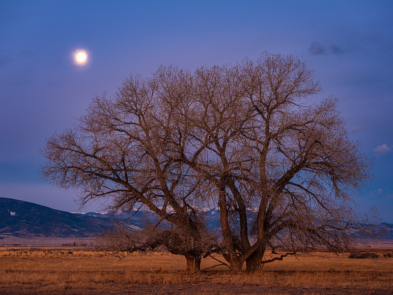 """Moon and cottonwoods"", Monte Vista, Colorado"