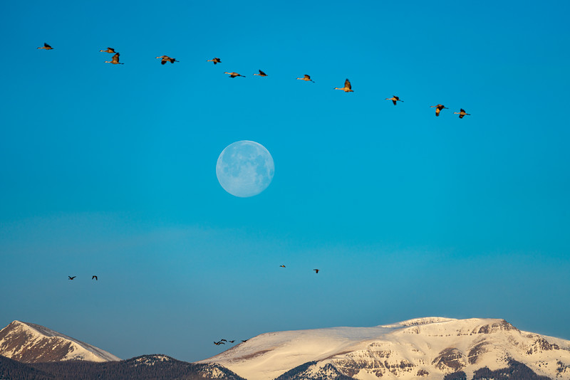 """Sandhillcranes over the moon"", Monte Vista, Colorado"
