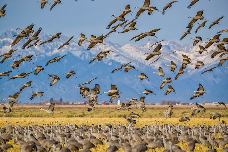 """Sandhill Cranes Coming in to Land"" Monte Vista National Wildlife Refuge, Colorado"