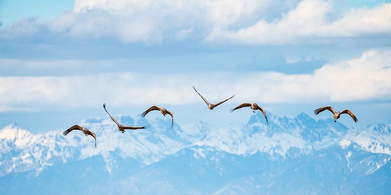 """""""Sandhill Cranes"""", Monte Vista, Colorado"""
