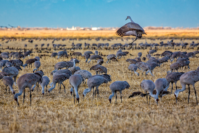 """I wish to live a life that causes my soul to dance inside my body."" Sandhill cranes, Monte Vista National Wildlife Refuge, Colorado"