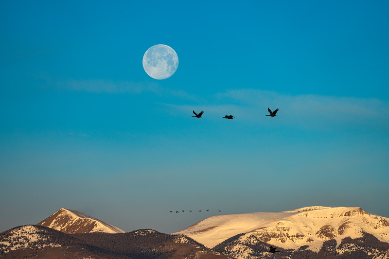 """Sandhill Cranes and moon "", Monte Vista, Colorado"