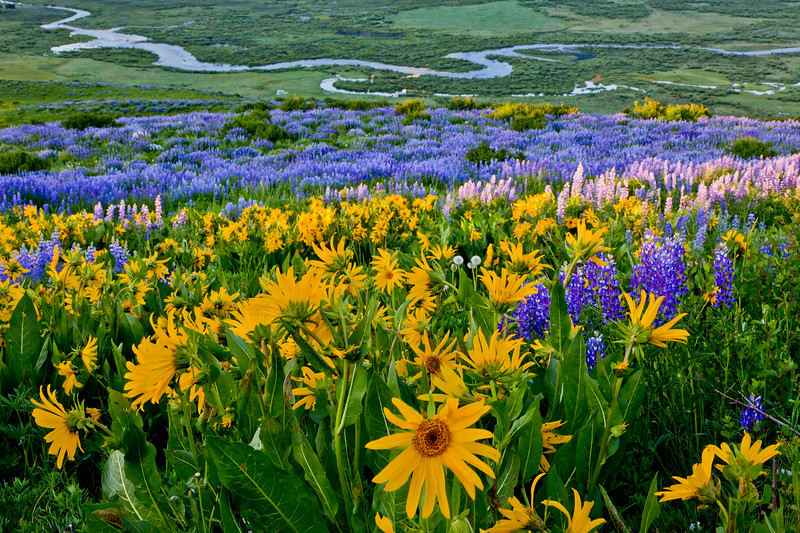 """Sun Flowers, Lupines & Slate River"" Crested Butte, Colorado"