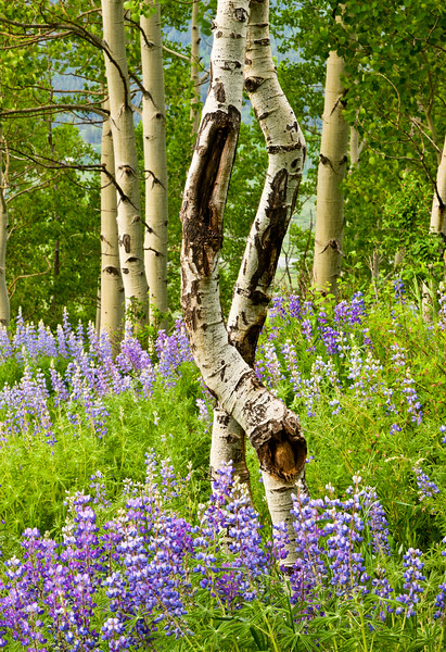 """Dancing Aspens"" Lupine Trail, Crested Butte"