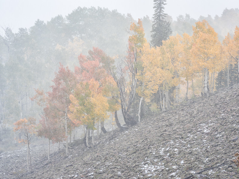 """Fall Aspens in the Mist"" Ohio Creek, Colorado"