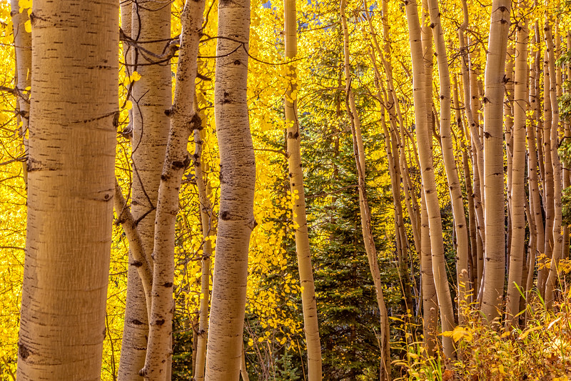"""Aspen forest"", Ohio Pass, Gunnison, Colorado"