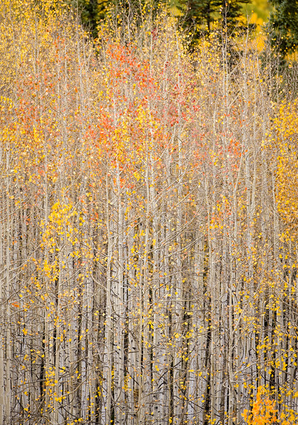 """Aspen Grove Detail"" Ohio Creek, Colorado"