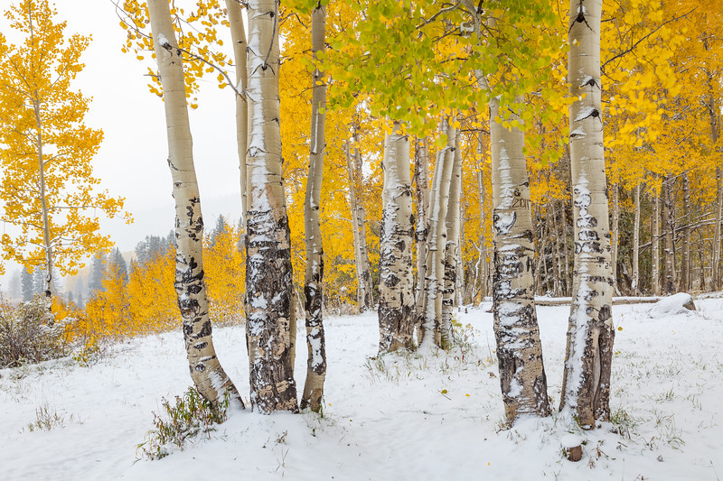 """Winter Aspens"" Gunnison, Colorado"