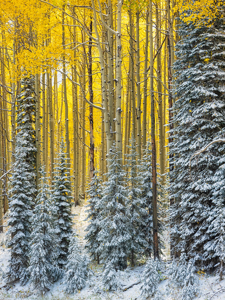 """ Pines under a Blanket of Snow"", Kebler Pass,  Colorado"
