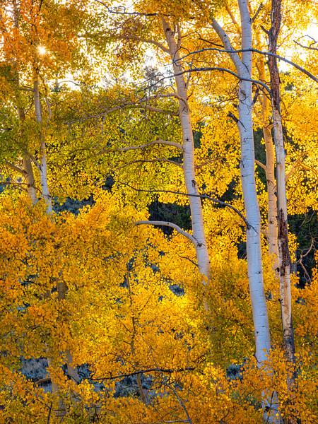 """""""Aspens"""" Ohio Pass, Gunnison, Colorado"""