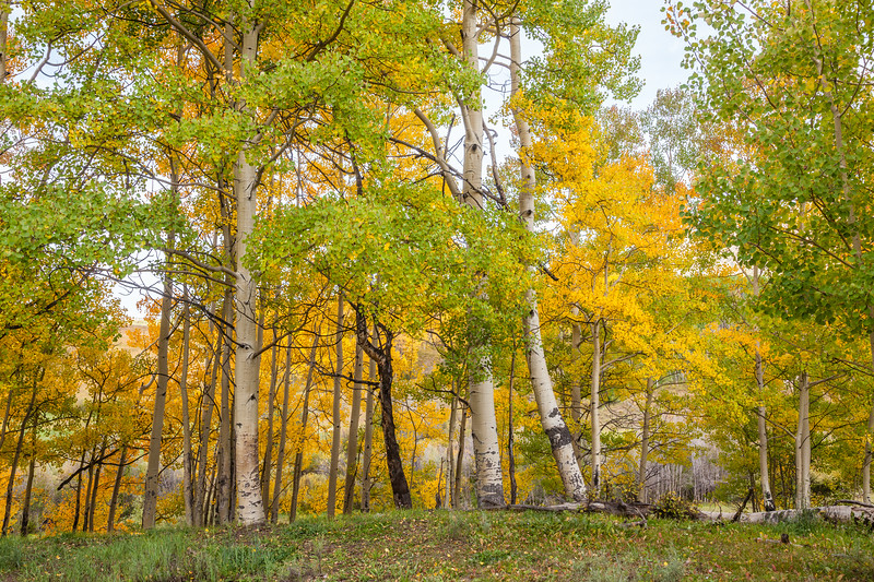 """Aspen Grove in Early Fall"" Ohio Pass, Gunnison, Colorado"