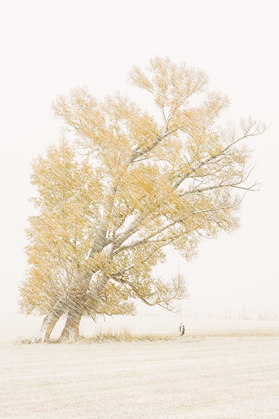 """Fall Cottonwood  & Swing in Driving Snow"" Jack's Cabin, Colorado"