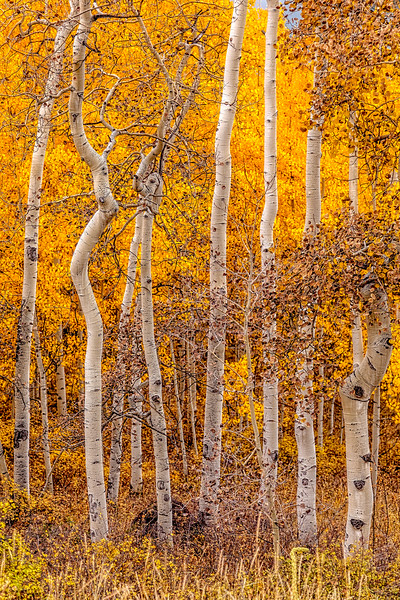 """Golden Aspens"" Gunnison, Colorado"