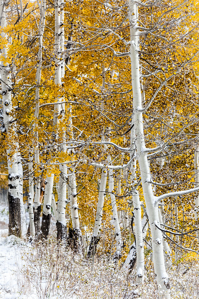"""Aspens in Snow"" Gunnison, Colorado"