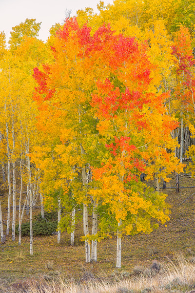 """Aspen on Fire"" Carbon Mountain, Colorado"