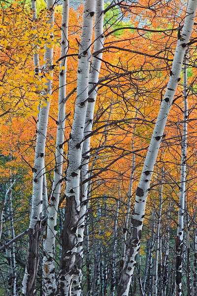"""Aspen Grove"" Arrowhead, Colorado"