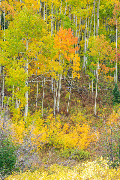 """Aspen Color Palette"", Ohio Pass, Gunnison, Colorado"